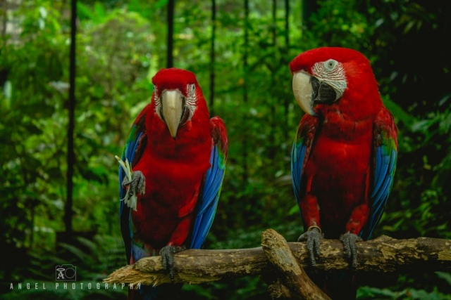 Singapore Zoo, Red Parrot, Singapore Day Tour, Wild Life