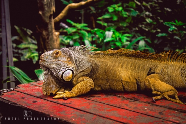 Singapore Zoo, Singapore Day Tour, Iguana, Wildlife