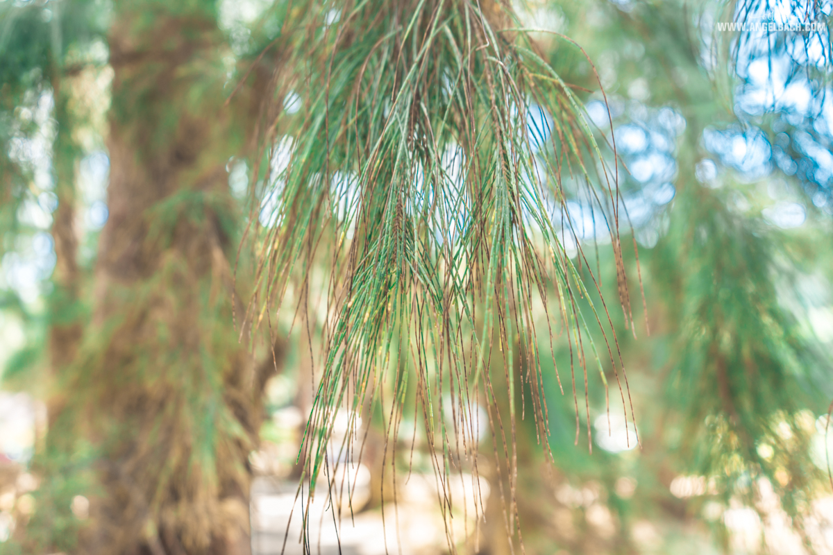 Phuket, Thailand, Island Hopping Phuket, Nature, Photography, White Beach, Sailing, Bamboo Island Pine Trees